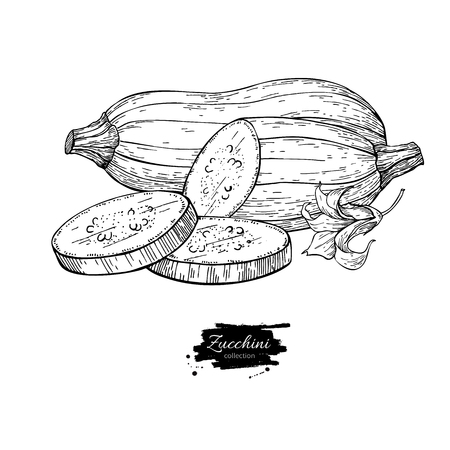Zucchini hand drawn vector illustration. Isolated Vegetable engr Illustration