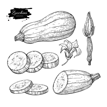 Zucchini hand drawn vector illustration set. Isolated Vegetable