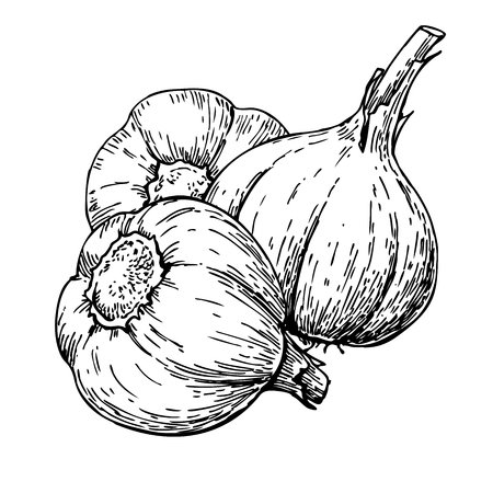 Garlic hand drawn vector illustration. Isolated Vegetable  Engra Illustration
