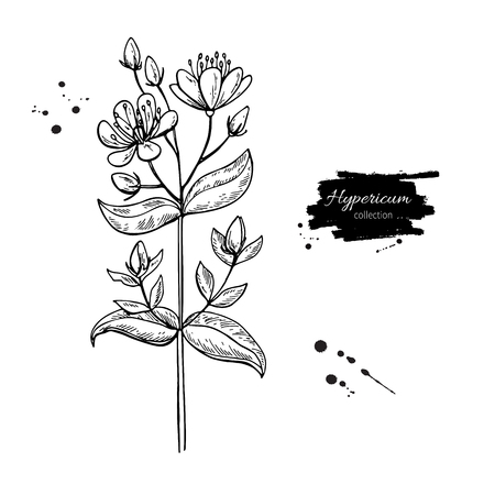 St. Johns wort vector drawing set. Isolated hypericum wild flower and leaves.