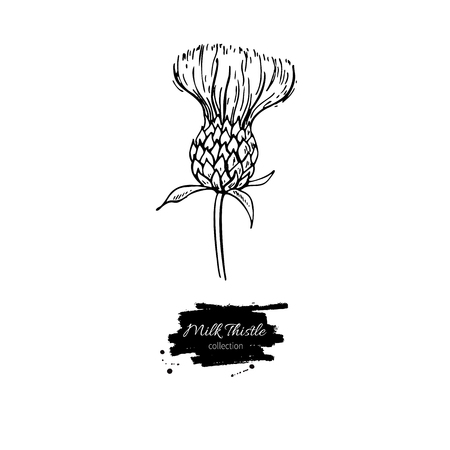 ミルク シスル花のベクトル図面セット。隔離された野生植物と葉。ハーブの刻まれたスタイルの図