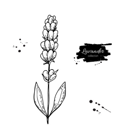 Lavender vector drawing set. Isolated wild flower and leaves. Herbal engraved style illustration.