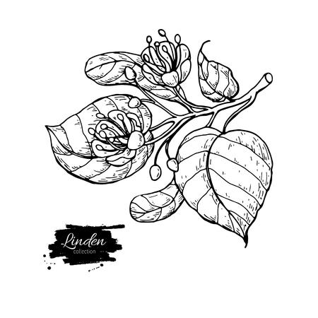 Linden vector tekening set. Geïsoleerdek kalkboom bloem en bladeren.