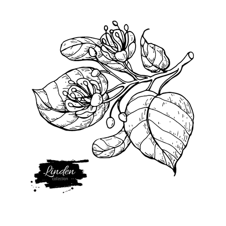 Linden vector drawing set. Isolated lime tree flower and leaves.