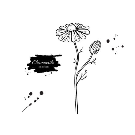 Chamomile vector drawing set. Isolated daisy wild flower and leaves.