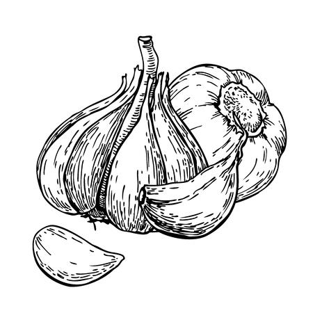 Knoflook handgetekende vectorillustratie. Geïsoleerd Groente Met C