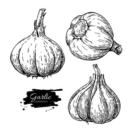 Garlic hand drawn vector illustration set. Isolated Vegetable En