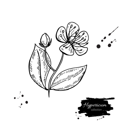 Isolated hypericum wild flower and leaves. Herbal engraved style illustration