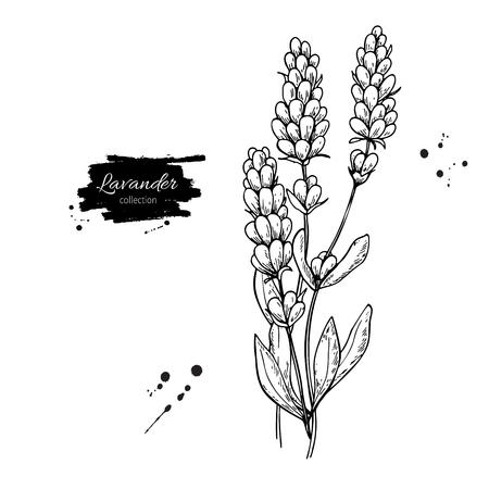 Lavendel vector tekening set. Geïsoleerde wilde bloem en bladeren. Kruiden gegraveerde stijlillustratie.