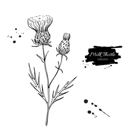 Milk thistle flower vector drawing set. Isolated wild plant and leaves. Herbal engraved style