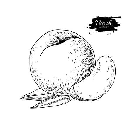 Peach vector drawing. Isolated hand drawn peach and sliced piece