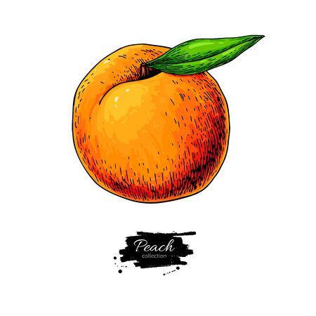 Peach vector drawing. Isolated hand drawn object on white backgr