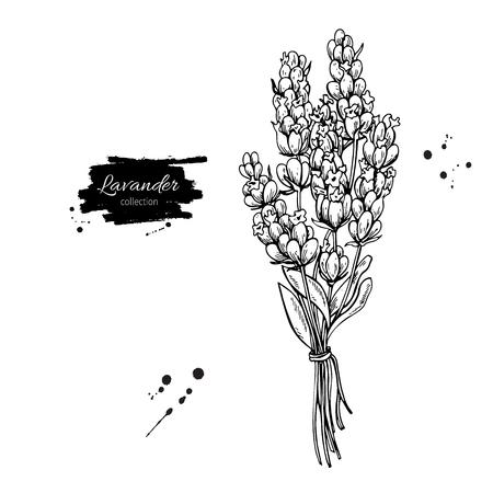 Set da disegno vettoriale lavanda. Fiore selvaggio isolato e foglie. Illustrazione di stile inciso a base di erbe