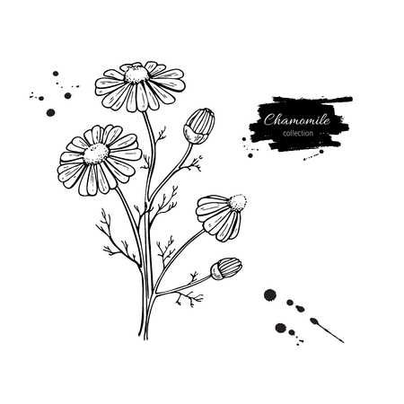 Chamomile vector drawing set. Isolated daisy wild flower and leaves. Herbal engraved style illustration. Vettoriali
