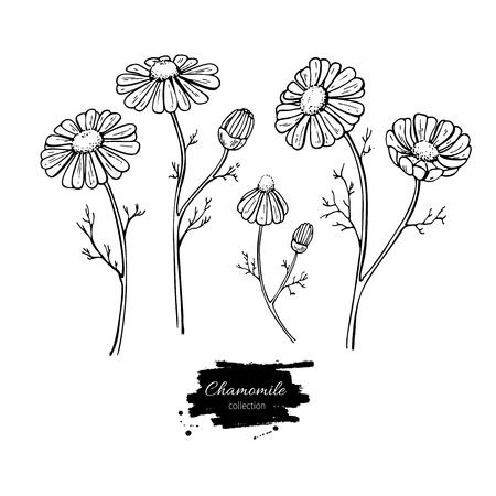 Kamillen-Vektor-Zeichnungssatz. Getrennte wilde Blume und Blätter des Gänseblümchens. Kräuter gravierte Artillustration. Ausführliche botanische Skizze für Tee, organische Kosmetik, Medizin, Aromatherapie