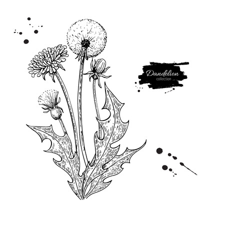 Dandelion flower vector drawing set. Isolated  wild plant and leaves. Herbal engraved style illustration. Detailed botanical sketch Ilustrace