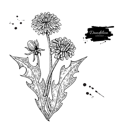 Dandelion flower vector drawing set. Isolated wild plant and leaves. Herbal engraved style illustration. Detailed botanical sketch