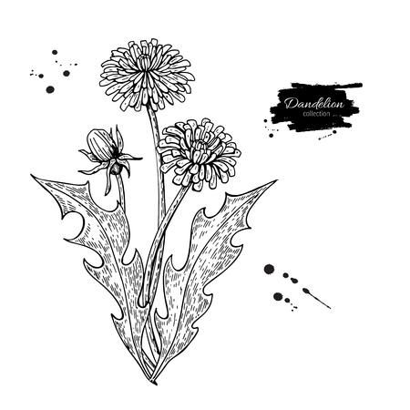 Paardebloem bloem vector tekening set. Geïsoleerde wilde plant en bladeren. Kruiden gegraveerde stijlillustratie. Gedetailleerde botanische schets