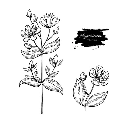 St. John's wort vector drawing set. Isolated hypericum wild flower and leaves. Herbal engraved style illustration. Detailed botanical sketch for tea, organic cosmetic, medicine, aromatherapy Vettoriali