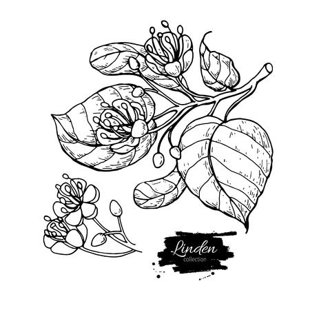 Linden vector tekening set. Geïsoleerde lindeboombloem en bladeren. Kruiden gegraveerde stijlillustratie. Gedetailleerde botanische schets voor thee, organische cosmetica, medicijnen, aromatherapie