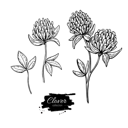 Clover flower vector drawing set. Isolated  wild plant and leaves. Herbal engraved style illustration. Detailed botanical sketch Ilustrace