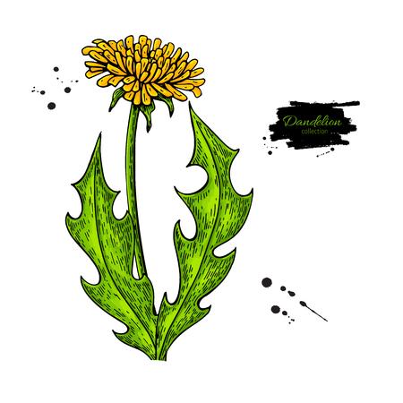민들레 꽃 벡터 드로잉 설정입니다. 격리 된 야생 식물과 나뭇잎입니다. 초본 예술적 스타일 그림입니다. 상세한 식물 스케치