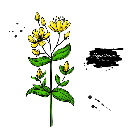 St. Johns wort vector drawing set. Isolated hypericum wild flower and leaves.Herbal artistic style illustration.Detailed botanical sketch for tea, organic cosmetic, medicine, aromatherapy Illustration