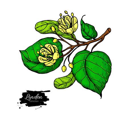 Linden vector tekening set. Geïsoleerde lindeboombloem en bladeren. Kruiden artistieke stijlillustratie. Gedetailleerde botanische schets voor thee, organische cosmetica, medicijnen, aromatherapie