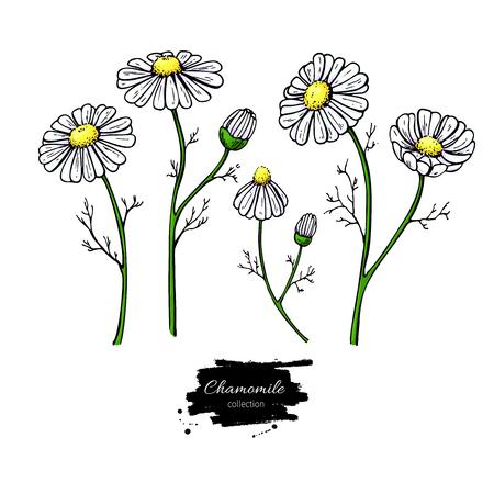 Kamille vector tekening set. Geïsoleerde daisy wilde bloem en bladeren. Kruiden artistieke stijlillustratie. Gedetailleerde botanische schets voor thee, organische cosmetica, medicijnen, aromatherapie
