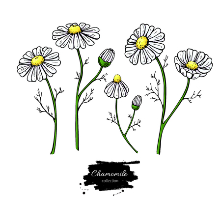 Chamomile vector drawing set. Isolated daisy wild flower and leaves. Herbal artistic style illustration. Detailed botanical sketch for tea, organic cosmetic, medicine, aromatherapy