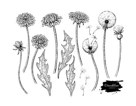 Dandelion flower vector drawing set. Isolated wild plant and flying seeds. Herbal Illustration