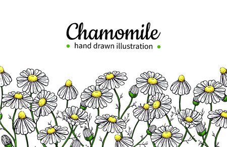 Chamomile vector drawing frame. Isolated daisy wild flower and leaves. Herbal artistic style illustration. Illustration