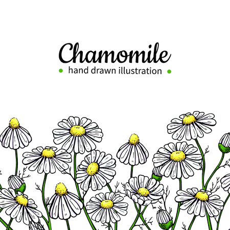 Chamomile vector drawing frame. Isolated daisy wild flower and leaves. Herbal artistic style illustration. Ilustração