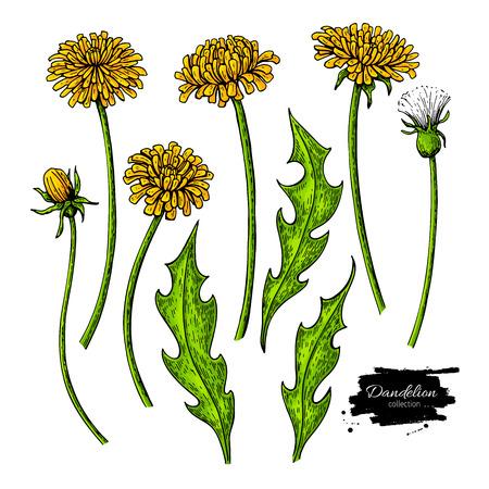 민들레 꽃 벡터 드로잉 설정입니다. 격리 된 야생 식물과 나뭇잎입니다.