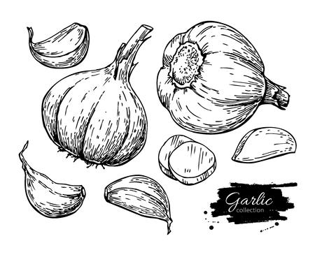 Garlic hand drawn vector illustration set. Isolated Vegetable, c