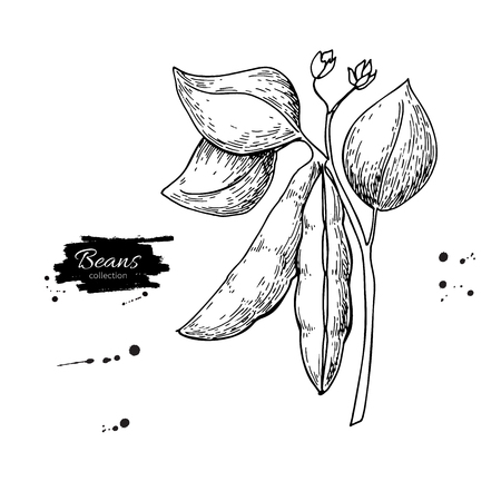 White Bean plant hand drawn vector illustration. Isolated Vegetable engraved style object. Detailed vegetarian food drawing. Farm market product. Great for menu, label, icon