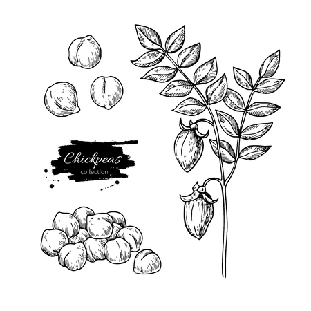 Chickpeas hand drawn vector illustration. Isolated Vegetable engraved style object. Detailed vegetarian food drawing. Farm market product. Great for menu, label, icon Stock Photo