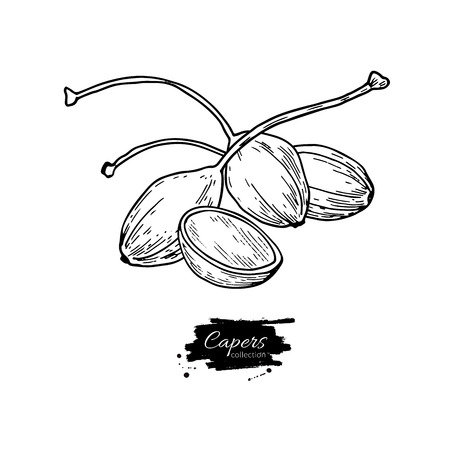 Capers hand drawn vector illustration. Isolated Vegetable engraved style object. Detailed vegetarian food drawing. Farm market product. Great for menu, label, icon Banco de Imagens - 79344505