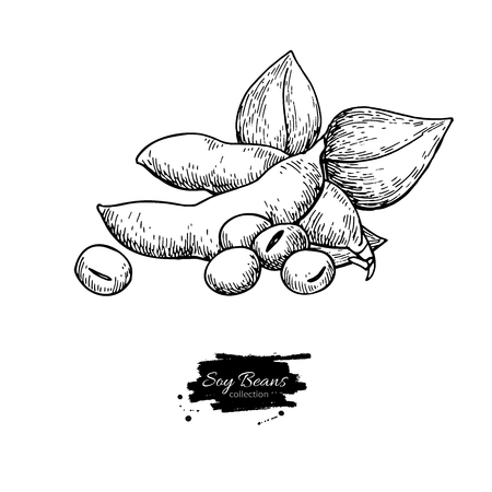 Soybean hand drawn vector illustration. Isolated Vegetable engraved style object. Detailed vegetarian food drawing. Farm market product. Great for menu, label, icon