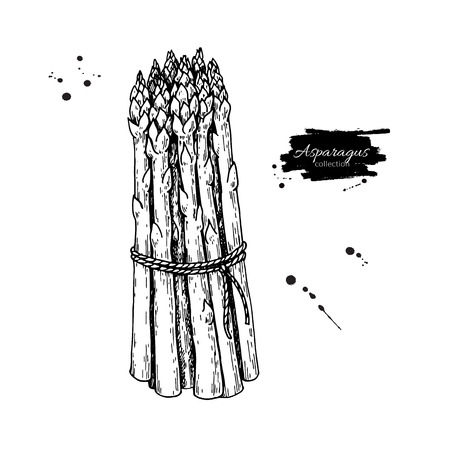 Aspergebos hand getrokken vectorillustratie. Geïsoleerd Plantaardig gegraveerd stijlvoorwerp. Gedetailleerde vegetarische voedseltekening. Farm market product. Geweldig voor menu, label, pictogram Stockfoto