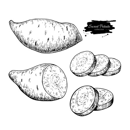 Sweet potato hand drawn vector illustration. Isolated Vegetable engraved style object.