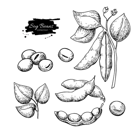 Soybean hand drawn vector illustration. Isolated Vegetable engraved style object. Vettoriali