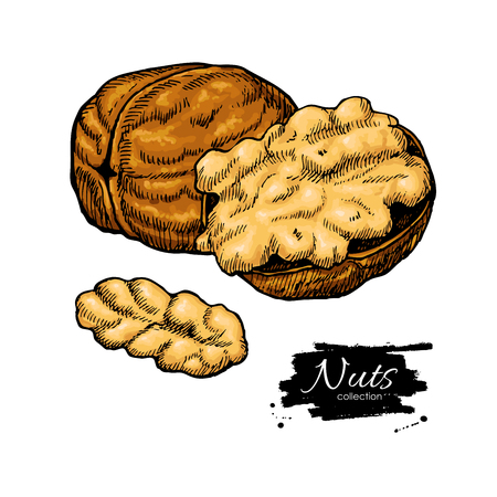 Walnut nuts vector hand drawn illustration