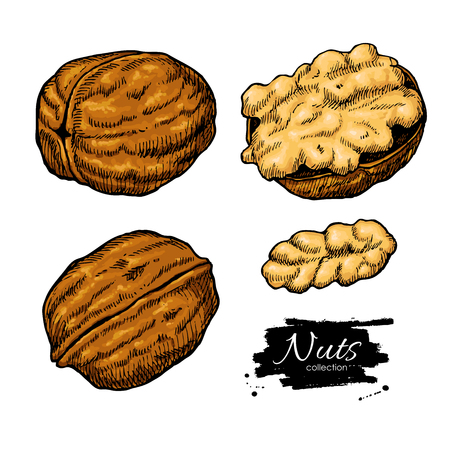 Walnut nuts vector hand drawn illustration. Artistic colorful sketch food objects. Great for label, banner, flyer, card, business promote. Ilustração
