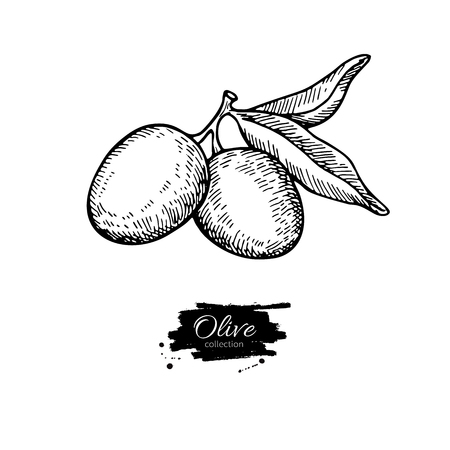oliva: Olive branch. Hand drawn vector illustration. Isolated drawing on white background. Engraved plant