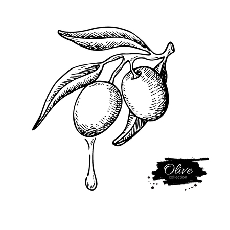 Olive branch with a drop of olive oil vector illustration. Hand drawn plant in vintage style. Isolated drawing on white background. Great for label design, icon, logo, poster, banner