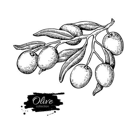 Olive branch. Hand drawn vector illustration. Isolated drawing on white background. Engraved plant with fruits and leaves. Great for oil label design, icon, logo, poster, banner