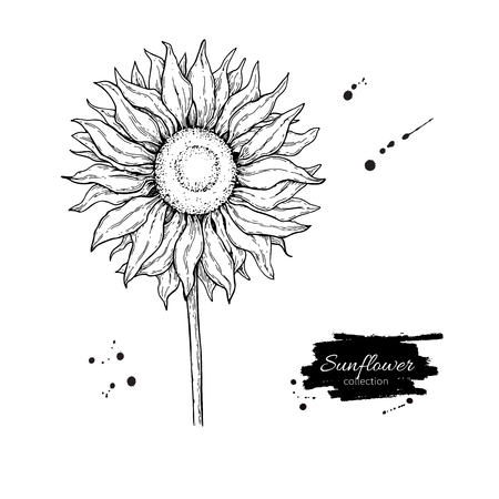 Sunflower flower vector drawing. Hand drawn illustration isolated on white background. Vintage style botanical sketch.