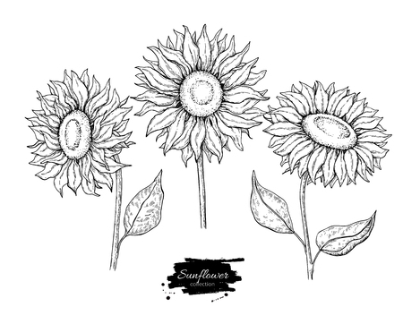 Sunflower flower vector drawing set. Hand drawn illustration isolated on white background. Vettoriali