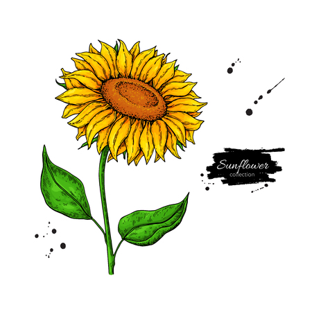 Sunflower flower vector drawing. Hand drawn illustration isolated on white background.